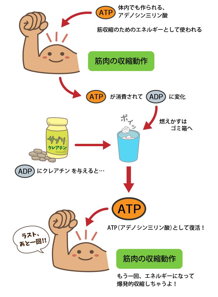 クレアチンが使用済みATPを再利用するプロセス